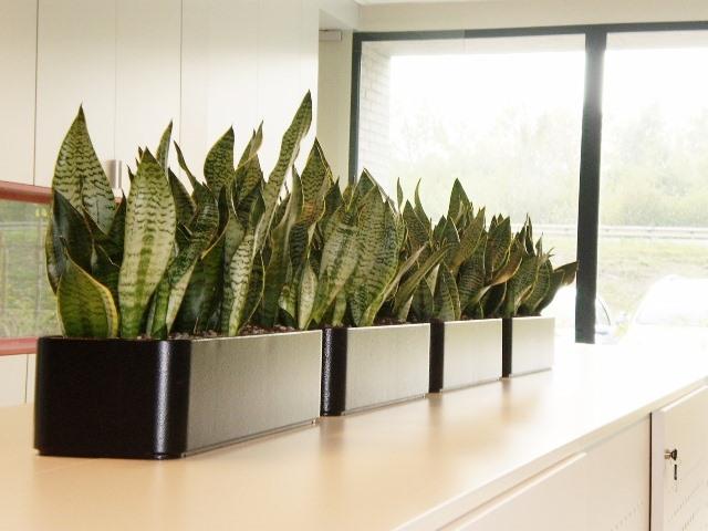 Hydrocultuur planten voor kantoor of bureau? Verkoop en verhuur Hydrocultuur planten