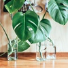 De Monstera als kantoorplant