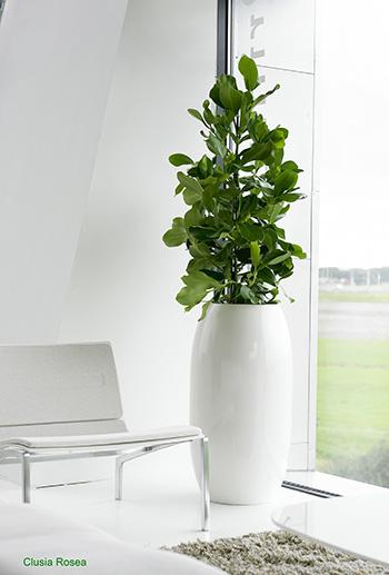 louer ou acheter un clusia rosea princess. Black Bedroom Furniture Sets. Home Design Ideas