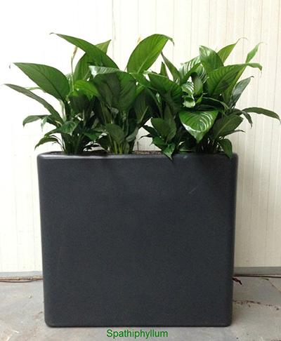Louer ou acheter une fleur de lune spathiphyllum for Ou acheter des plantes